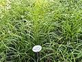 Carex silvatica - Botanical Garden, University of Frankfurt - DSC02421.JPG