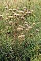 Carlina vulgaris 210805.jpg