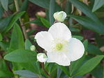 Carpenteria californica1.jpg