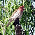 Cassin's Finch (18435905881).jpg