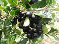 Cassine peragua Cape Saffron Tree berries 1.JPG