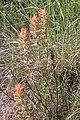 Castilleja angustifolia 2626 - Flickr - andrey zharkikh.jpg