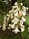 Catalpa ovata flowers.jpg