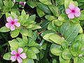 CatharanthusRoseus4.jpg