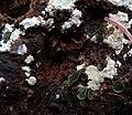 Catinella olivacea 12932464.jpg