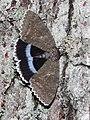 Catocala fraxini 01 (HS).JPG