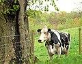 Cattle, Minnowburn near Belfast (1) - geograph.org.uk - 1279233.jpg
