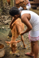 Cattle smeared with 'Mah-Haldhi', an another part of the ritual of Assamese 'Goru Bihu'.png