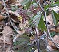 Caulophyllum giganteum.jpg