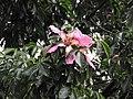 Ceiba speciosa-1-cubbon park-bangalore-India.jpg
