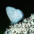 Celastrina.argiolus.2001.10.08.jpg