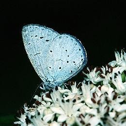 Žydrasis melsvys(Celastrina argiolus)