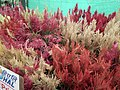 Celosia wool flower from Lalbagh flower show Aug 2013 8458.JPG