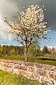 Cemetery Tree (Jewish April Spring) 01.jpg