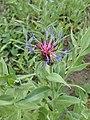 Centaurea montana kz04.jpg