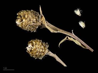 Centaurea nigra - Centaurea nigra - MHNT