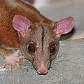 Central American woolly opossum (Caluromys derbianus) male head.jpg