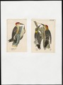 Centurus - 1700-1880 - Print - Iconographia Zoologica - Special Collections University of Amsterdam - UBA01 IZ18700371.tif