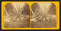 Century plant, Dummett's Grove, from Robert N. Dennis collection of stereoscopic views 2.png