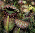 Cephalotus - Albany or Western Australian Pitcher Plant.png