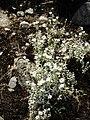 Cerastium tomentosum 7.jpg
