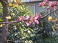 Cercis siliquastrum flower.jpg