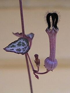<i>Ceropegia woodii</i> species of plant