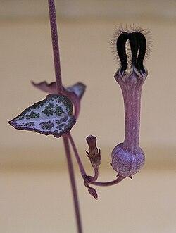 Ceropegia linearis subsp woodii.jpg
