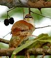 Certhiaxis cinnamomea (Rastrojero barbiamarillo) (14596826212).jpg
