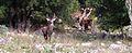 Cervo Sardo nel territorio di Ulassai.jpg