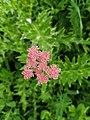Chaerophyllum roseum 94206242.jpg