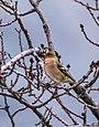 Chaffinch (Fringilla coelebs) (33213794795).jpg