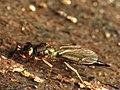 Chalcid Wasp (34396556886).jpg