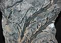 Chaleuria cirrosa fossil land plant (Lower Devonian; New Brunswick, southeastern Canada) 2 (15518601451).jpg