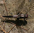 Chalk-fronted Corporal (2619389429).jpg