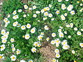 Chamomile Flowers Grow Naturally in Redjas (Algeria) 2.jpg