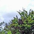 Chara pecho gris (Aphelocoma wollweberi) - vista en la Sierra de Guanajuato.jpg