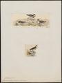 Charadrius bicinctus - 1700-1880 - Print - Iconographia Zoologica - Special Collections University of Amsterdam - UBA01 IZ17200245.tif