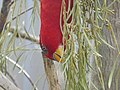 Chattering lory 01.jpg
