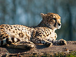 Cheetah at Whipsnade Zoo, Dunstable.jpg