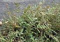 Cheilanthes lanosa kz2.jpg
