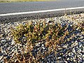 Chenopodium glaucum sl53.jpg