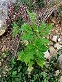 Chenopodium hybridum plant (9).jpg