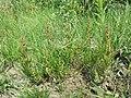 Chenopodium rubrum (s. str.) sl34.jpg