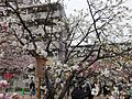"""Cherry-Blossom-Viewing through the """"Tunnel"""" at Japan Mint in 201504 009.JPG"""