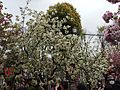 """Cherry-Blossom-Viewing through the """"Tunnel"""" at Japan Mint in 201504 024.JPG"""