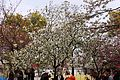 """Cherry-Blossom-Viewing through the """"Tunnel"""" at Japan Mint in 201504 031.JPG"""