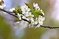 Cherry Blossom 2 (209719455).jpeg
