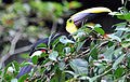 Chestnut-mandibled Toucan (7047644271).jpg