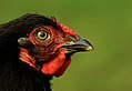 Chicken, Vashon Island, WA (5454790455).jpg